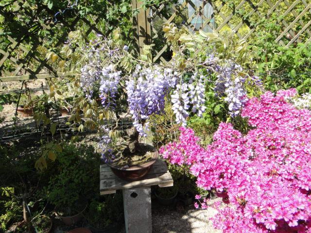la passion du bonsai Dsc09035