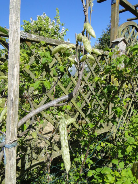 la passion du bonsai Dsc09036