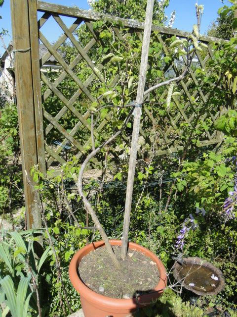 la passion du bonsai Dsc09037