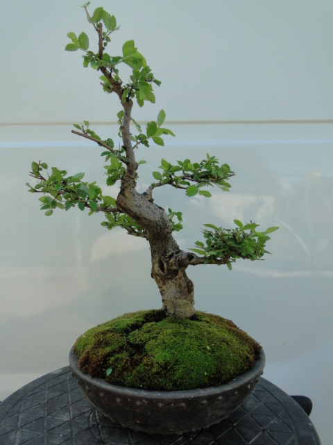 la passion du bonsai - Page 2 Dsc09044