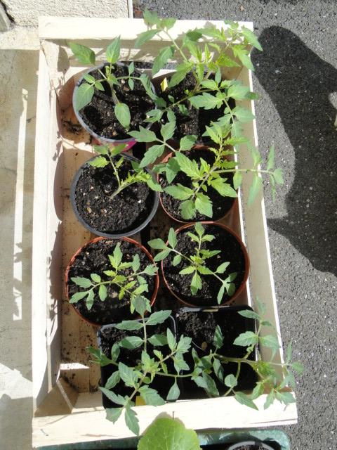 semis de tomates - Page 31 Dsc09065