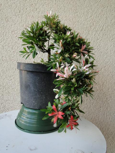 la passion du bonsai - Page 5 Dsc09162