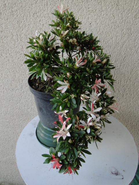 la passion du bonsai - Page 5 Dsc09163
