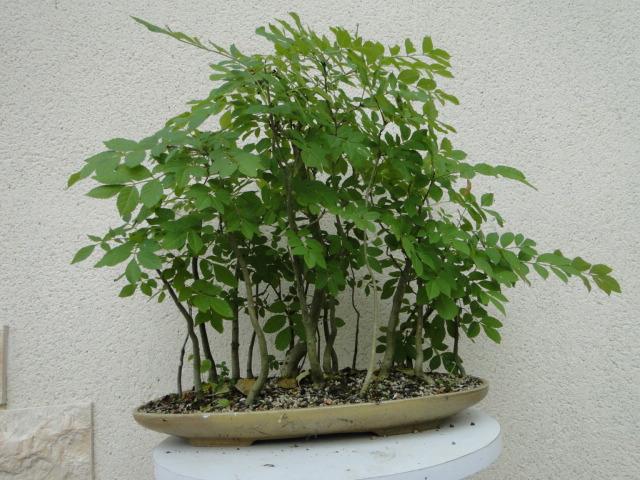la passion du bonsai - Page 5 Dsc09164