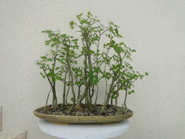 la passion du bonsai - Page 6 Dsc09165