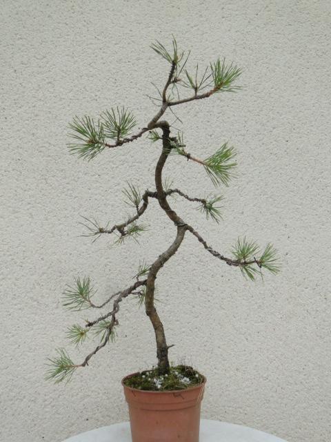 la passion du bonsai - Page 10 Dsc09188