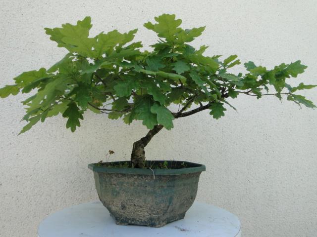 la passion du bonsai - Page 6 Dsc09251