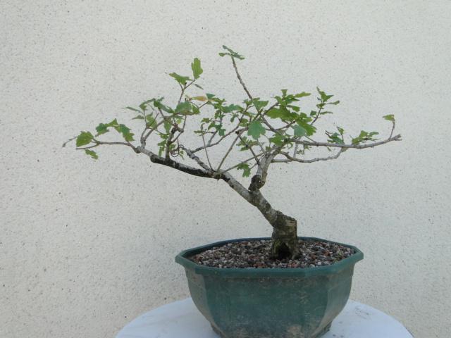 la passion du bonsai - Page 6 Dsc09254
