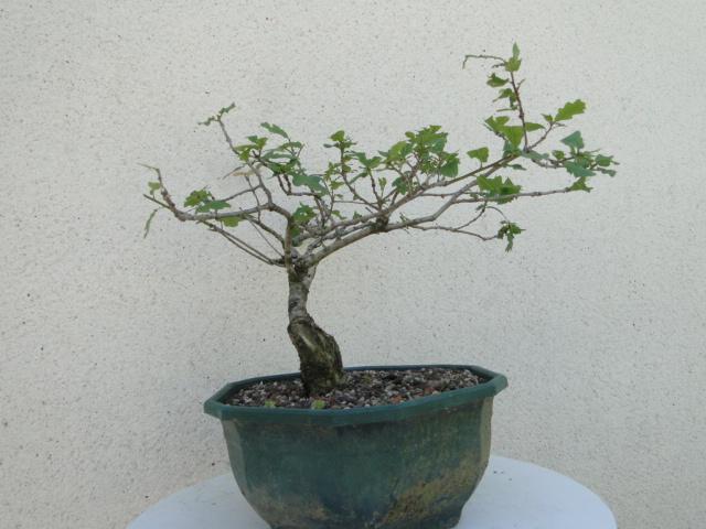 la passion du bonsai - Page 6 Dsc09255
