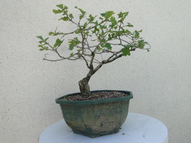 la passion du bonsai - Page 6 Dsc09256