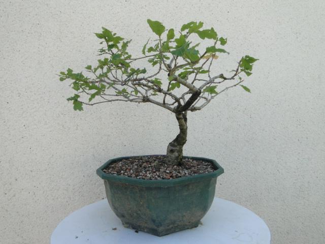 la passion du bonsai - Page 6 Dsc09257