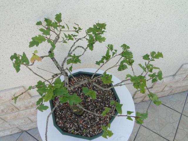 la passion du bonsai - Page 6 Dsc09258
