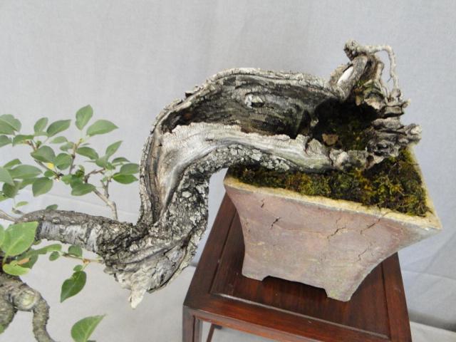 la passion du bonsai - Page 15 Dsc09291