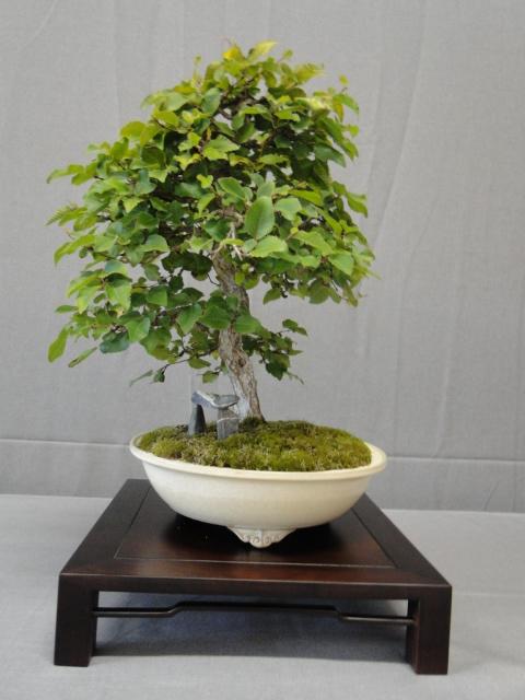 la passion du bonsai - Page 16 Dsc09361