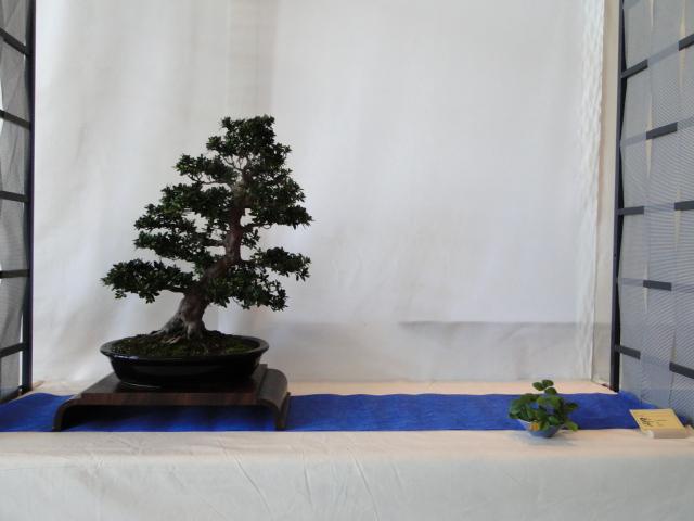 expo club bonsaï émeraude 2018  Dsc09571