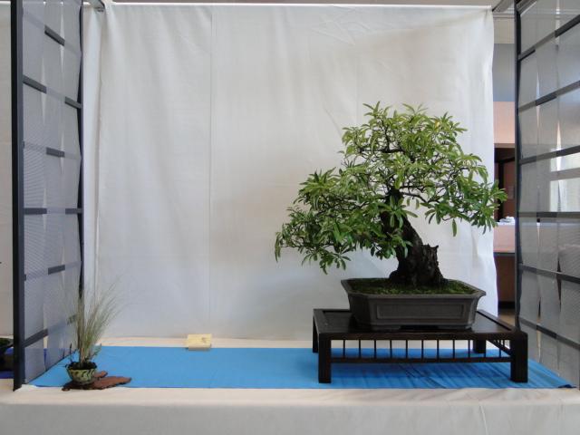 expo club bonsaï émeraude 2018  Dsc09573