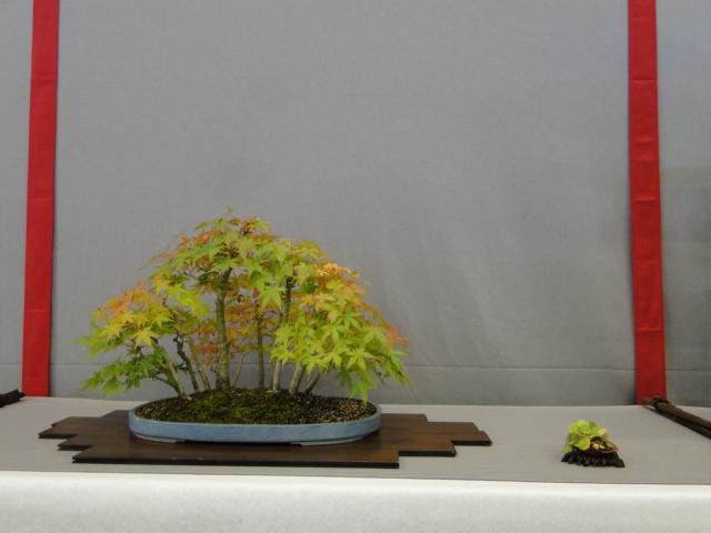 la passion du bonsai - Page 15 Dsc09793
