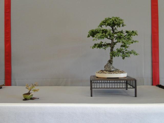 la passion du bonsai - Page 15 Dsc09797