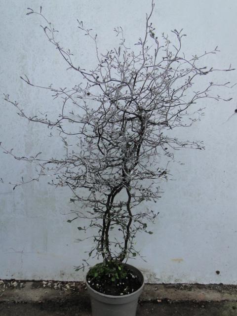 la passion du bonsai - Page 9 Dsc09815