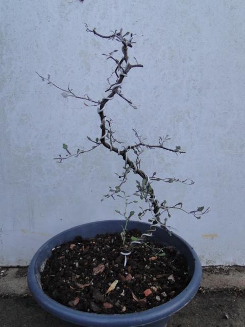 la passion du bonsai - Page 9 Dsc09817