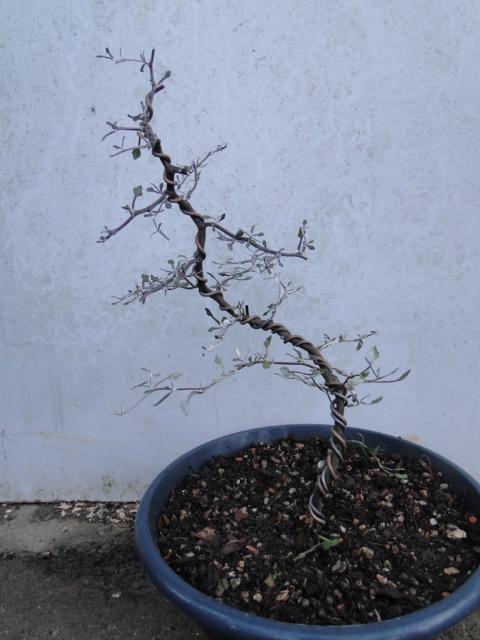 la passion du bonsai - Page 9 Dsc09818