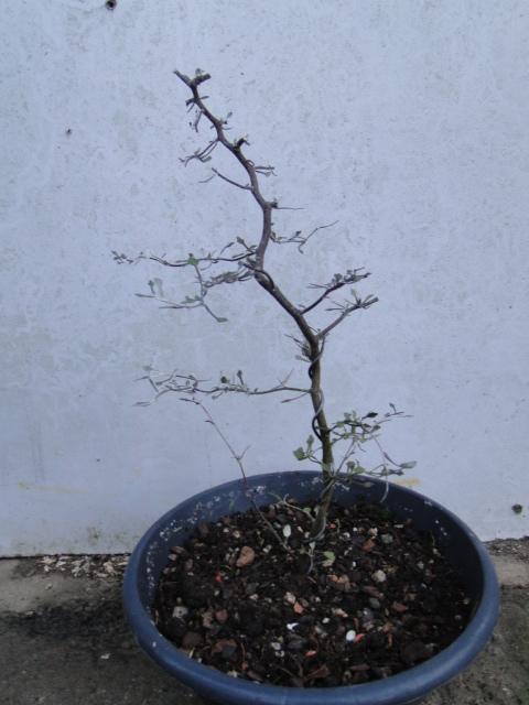la passion du bonsai - Page 9 Dsc09819