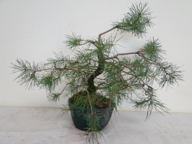 la passion du bonsai - Page 14 Dsc09949