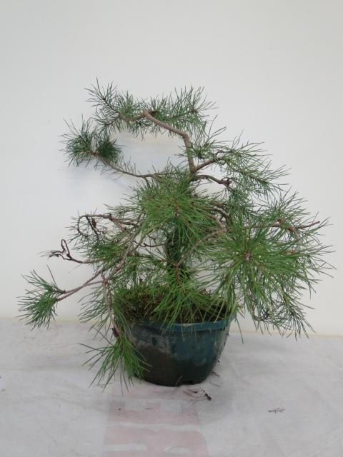 la passion du bonsai - Page 14 Dsc09950