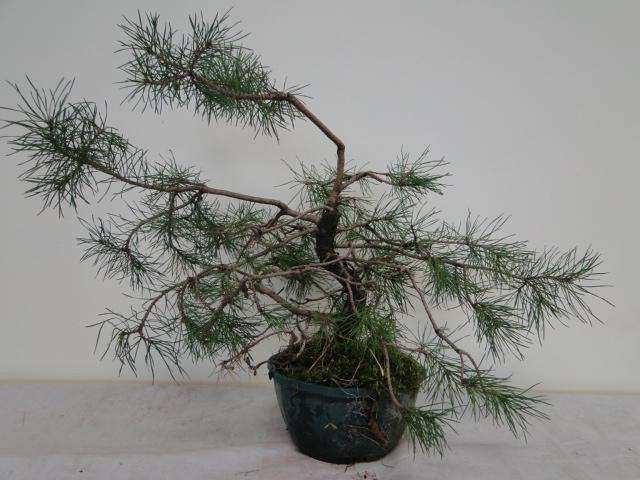 la passion du bonsai - Page 14 Dsc09951