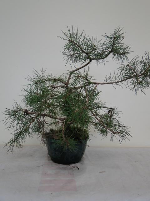 la passion du bonsai - Page 14 Dsc09952