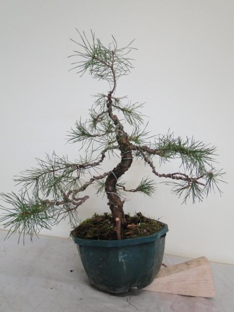 la passion du bonsai - Page 14 Dsc09953