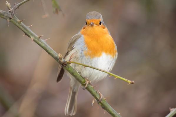 les oiseaux et petites bêtes au cours de nos balades - Page 23 Rouge-10