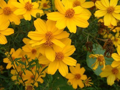 Tagète lemonii 'tangerine marigold' Tagete10