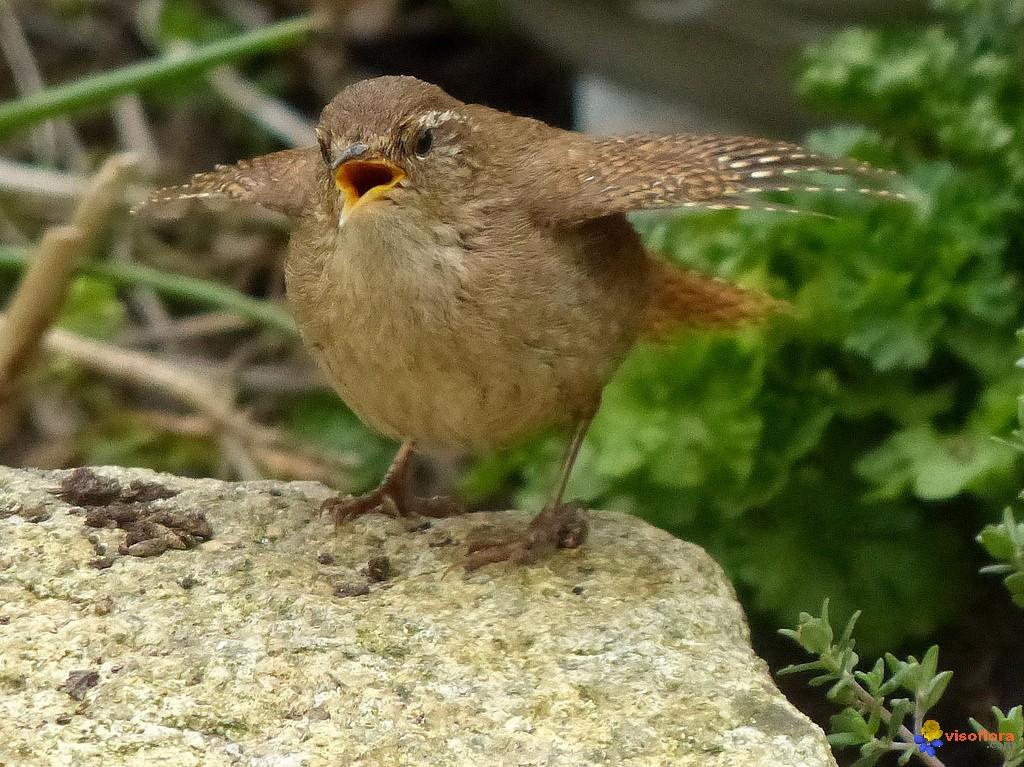les oiseaux et petites bêtes au cours de nos balades - Page 38 Troglo10