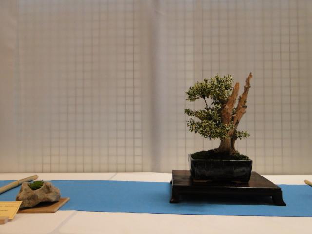expo club bonsaï émeraude 2018  Xxdsc011