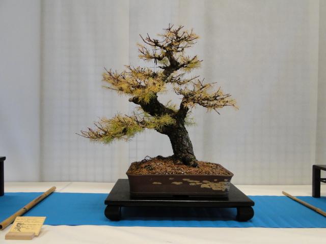 expo club bonsaï émeraude 2018  - Page 2 Xxxdsc15