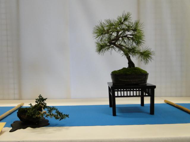 expo club bonsaï émeraude 2018  - Page 2 Xxxdsc17