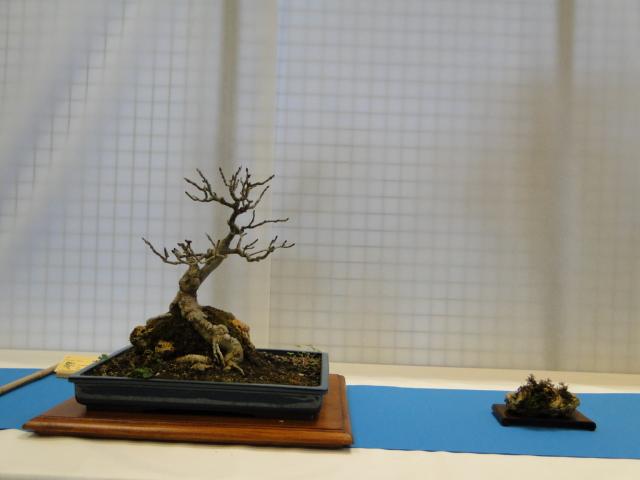 expo club bonsaï émeraude 2018  - Page 2 Xxxdsc19