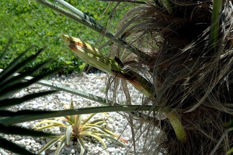Trachycarpus wagnerianus mâle ou femelle ??? 20-wag10