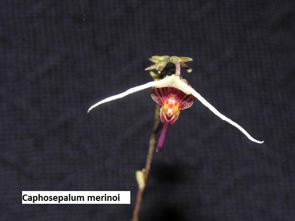 Miniatur- Orchideen - Seite 5 Caphos10