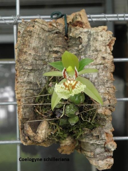 Miniatur- Orchideen - Seite 5 Coelog10