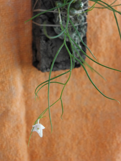 Miniatur- Orchideen - Seite 3 Dendro10