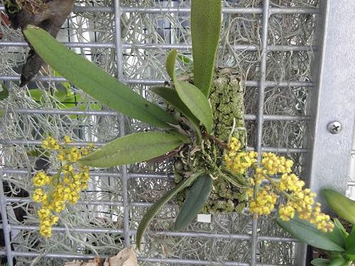 Miniatur- Orchideen - Seite 3 Dendro12
