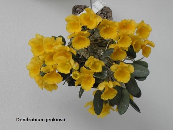 Miniatur- Orchideen - Seite 5 Dendro15