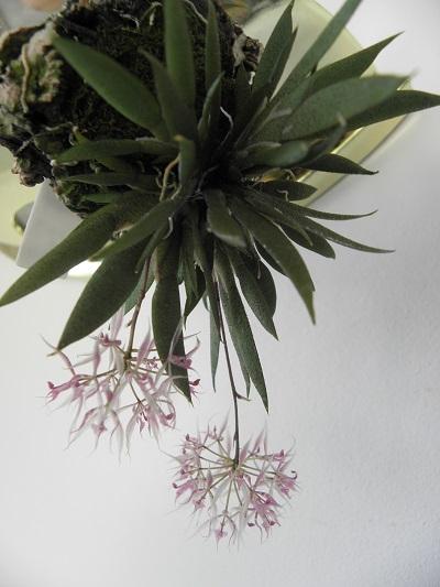 Miniatur- Orchideen - Seite 3 Macroc10