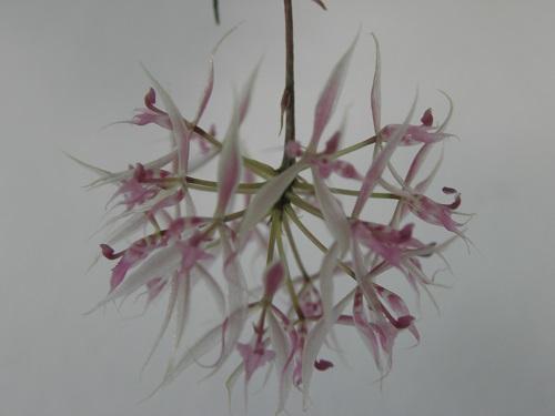 Miniatur- Orchideen - Seite 3 Macroc11