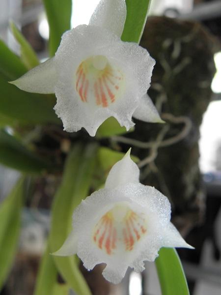 Miniatur- Orchideen - Seite 4 P6130010