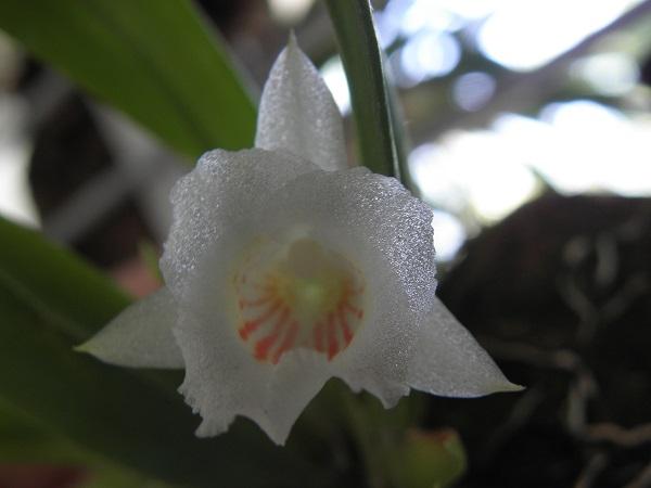 Miniatur- Orchideen - Seite 4 P6130011