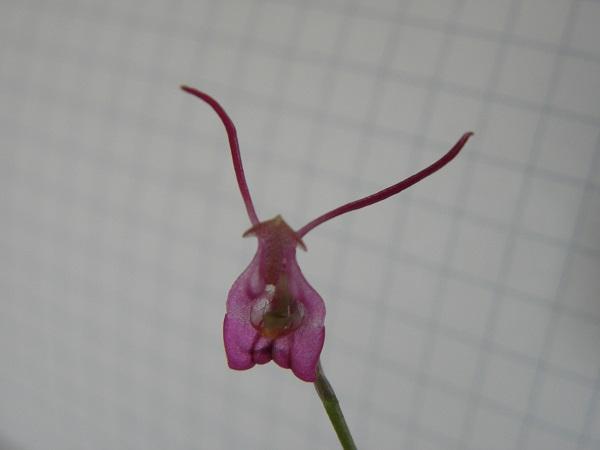 Miniatur- Orchideen - Seite 3 Porrog11