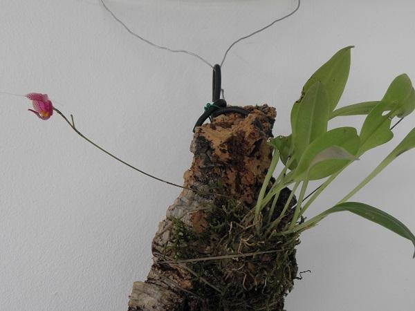 Miniatur- Orchideen - Seite 5 Scapho11